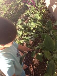 次男が茄子を収穫。晩ご飯に食べたいなぁ