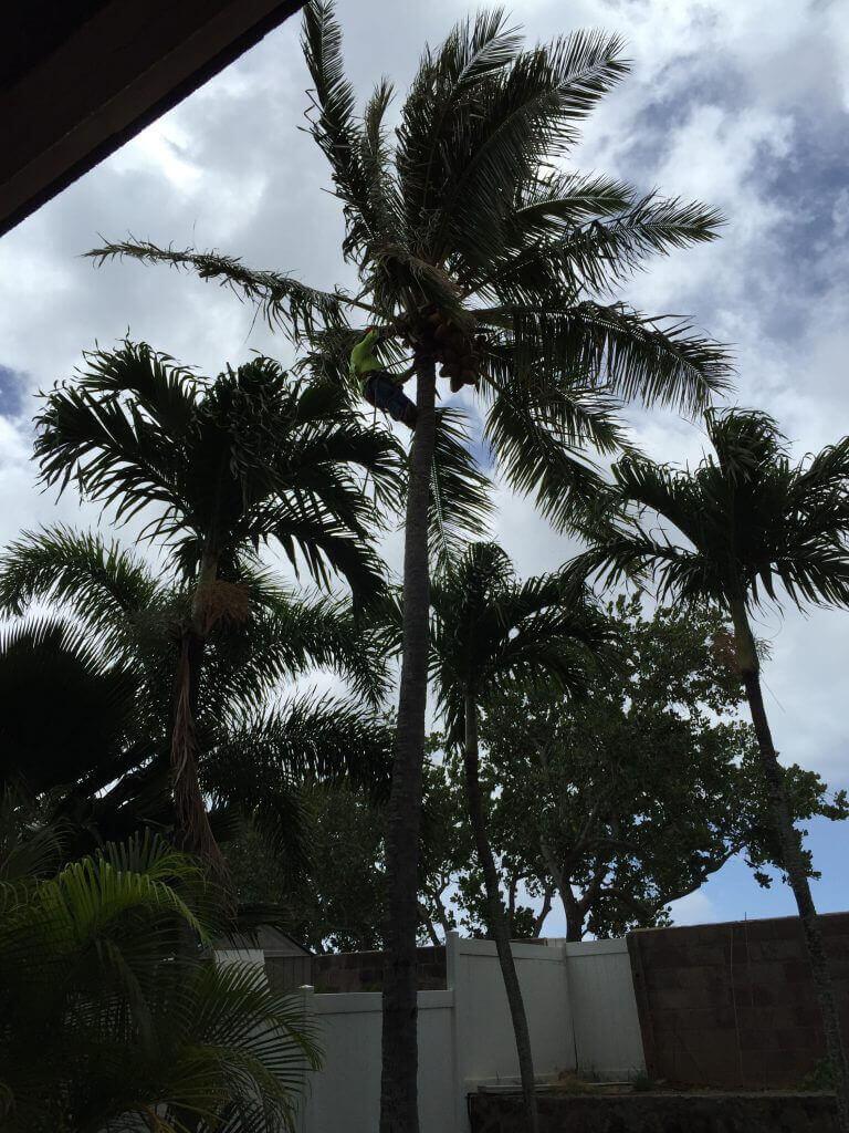 ハワイで大家:ヤシの実除去サービス