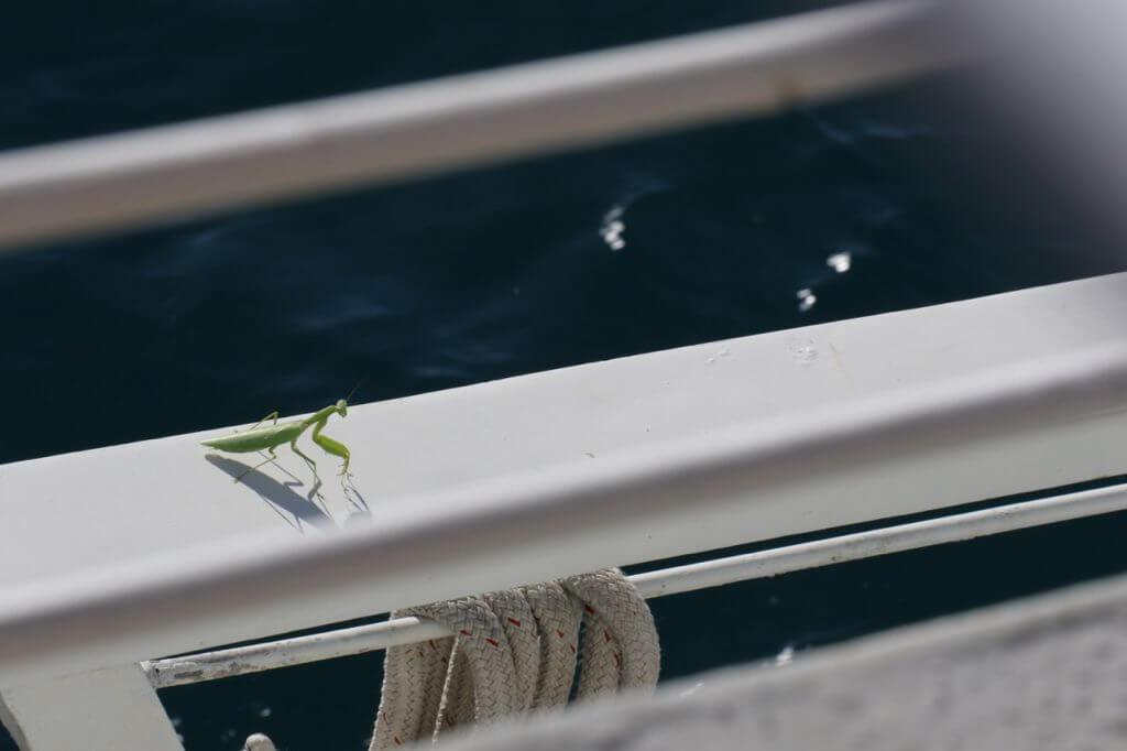 ハワイで大家:ボートにカマキリ